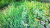 Жительнице деревни Тверской области грозит 8 лет лишения свободы за кусты мака в огороде