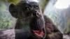 У шимпанзе нашли признаки человеческого слабоумия