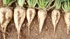 Урожай свеклы в этом году будет на 15% больше прошлогоднего