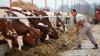 Bloomberg: Danone перевезет в Сибирь пять тысяч коров