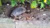 Уехавшие отдыхать хозяева черепахи просверлили ей дыру в панцире и приковали к дереву