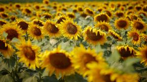 В северных районах страны приступили к сбору урожая подсолнечника