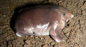 Индийские учёные открыли новый вид фиолетовых лягушек