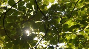В столице минирующая моль уничтожает каштановые деревья
