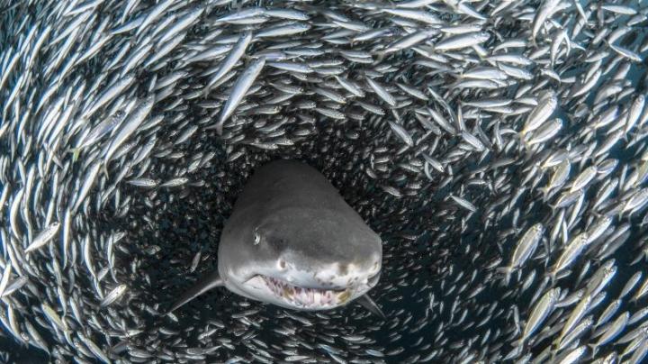 Фотографы сняли акулу в тоннеле из рыб