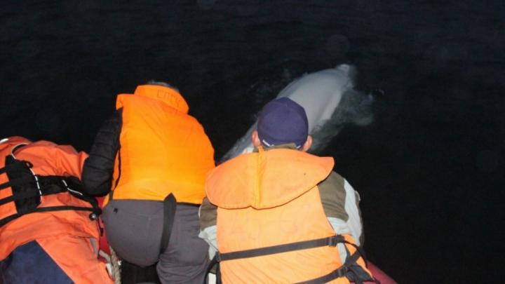 """На Камчатке спасли кита, зацепившегося за """"якорь-мертвяк"""""""