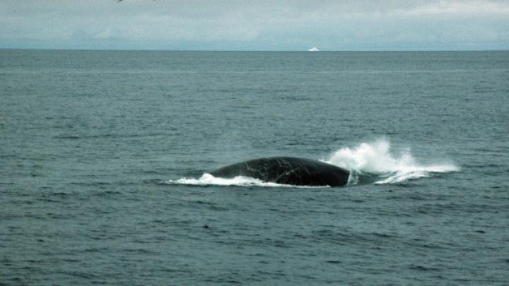 Появилось видео с китом, застрявшим в устье реки в Хабаровском крае