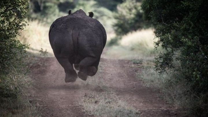 Видео с бегущим по трассе в Индии носорогом приобрело популярность в сети