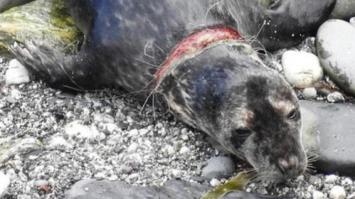 Зоозащитники спасли тюленя от сетки, которая несколько месяцев резала ему шею