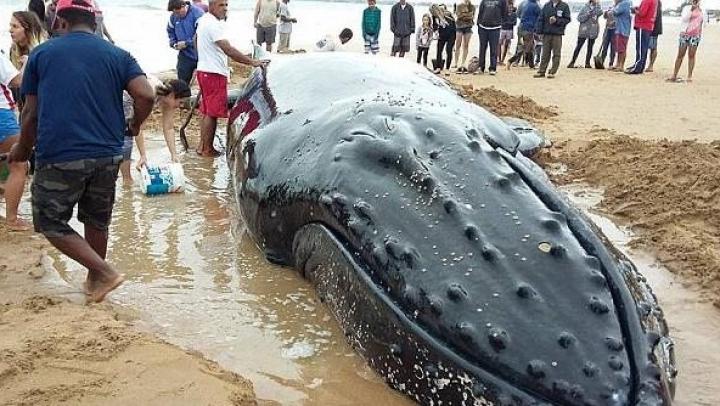 Видео: Добровольцы всю ночь копали канал и обливали детёныша кита, выброшенного на пляж