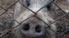 Польша отгородится от украинских чумных свиней забором