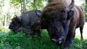 В Германии убили дикого европейского зубра, который появился впервые за 250 лет