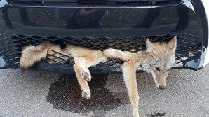 Сбитый машиной койот застрял в решётке радиатора, но выжил и проехал так 30 км