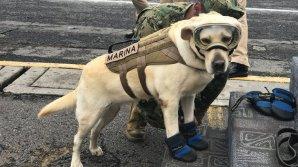 Собака Фрида спасла жизни 52 человек во время землетрясения в Мексике