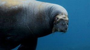 Десятки молодых моржей погибли в давке на Аляске