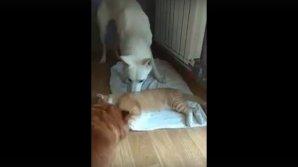 Видео: Любопытная собака попыталась разбудить кота после наркоза