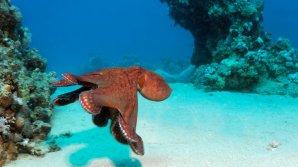 У побережья Австралии обнаружен город осьминогов - Октландида