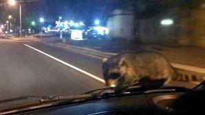 Енот прокатился на лобовом стекле полицейской машины