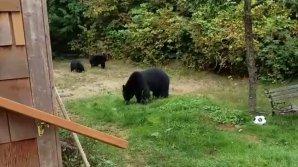 Канадец учтиво выпроводил зашедшую к нему медвежью семью