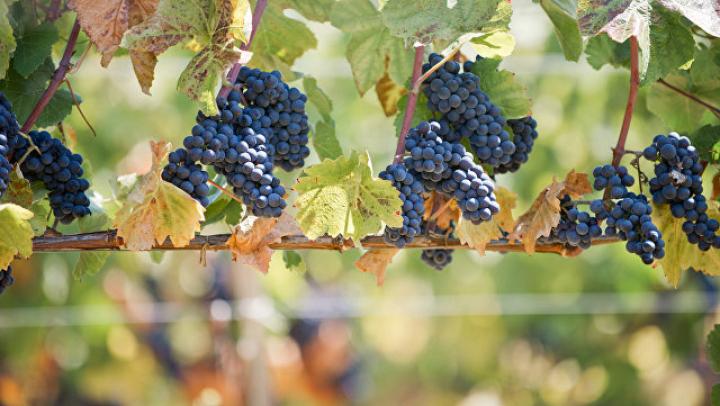 В Чимишлии прошёл фестиваль винограда