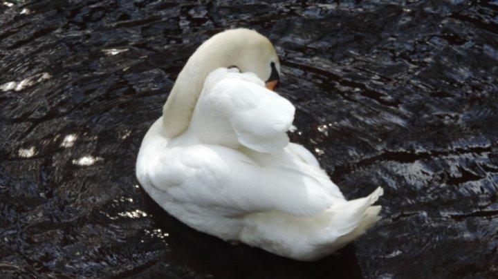 Китаец получил срок за кражу и убийство лебедя из парка