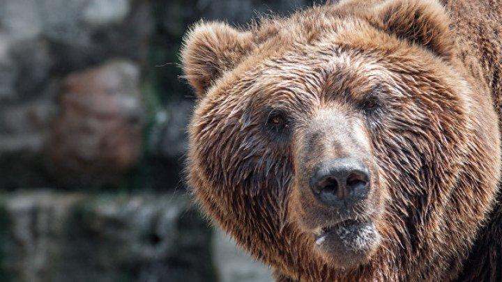 Застрявшего в окне медведя вытащили с помощью КамАЗа: видео