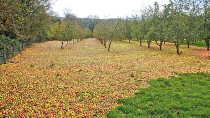 Шторм оказался идеальным сборщиком урожая яблок