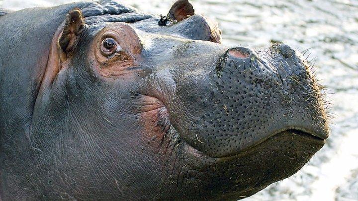 В африканском заповеднике погибло более сотни бегемотов