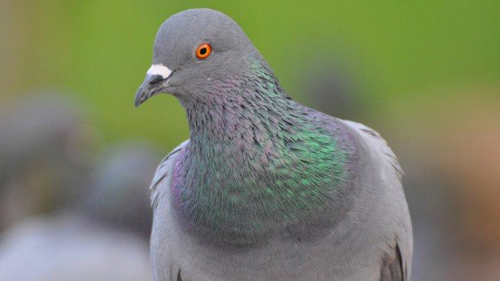 Женщина погибла из-за голубиного помета