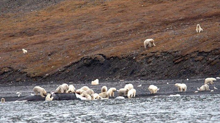 На Чукотке туристы увидели пир 230 белых медведей