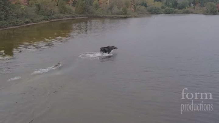 Схватка лося и волка: шокирующее видео с коптера