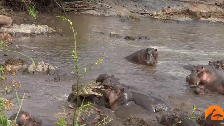 В Южной Африке сняли на видео схватку крокодила со стадом бегемотов