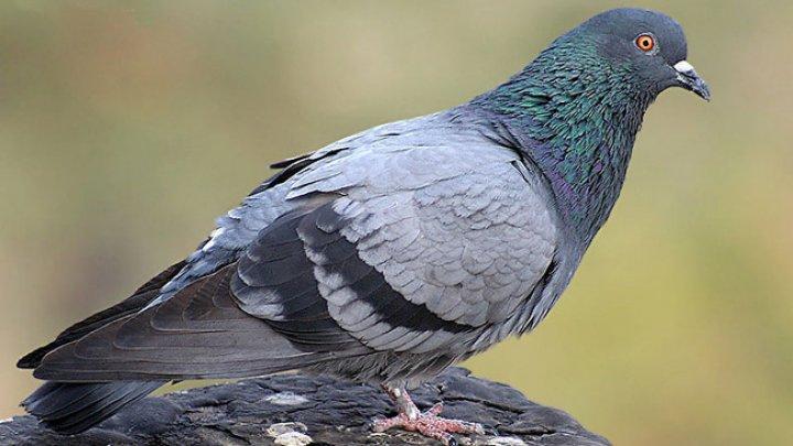 Итальянка умерла, надышавшись голубиного помета