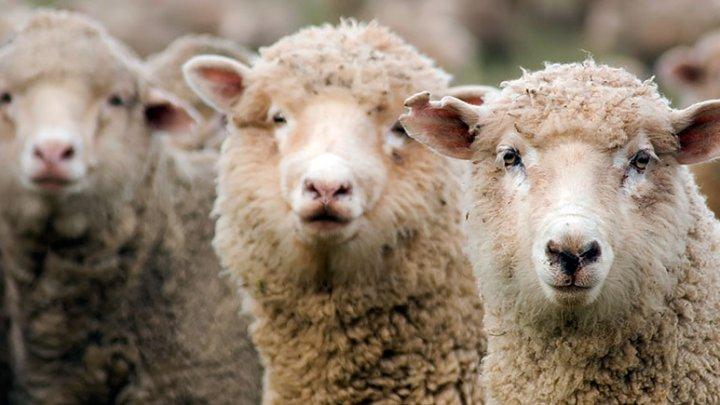 Стадо овец погибло под поездом из-за халатности пастуха