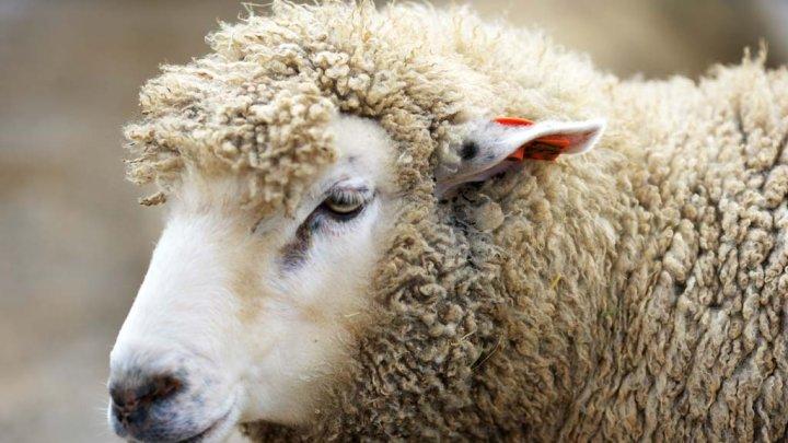 Британский пес пригнал стадо овец хозяйке накухню
