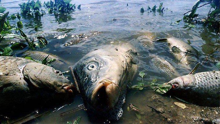 На реке Псёл в Курской области массово гибнет рыба