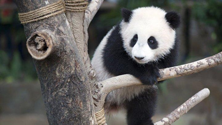 Видео неловких попыток маленькой панды научиться ходить растрогало Сеть