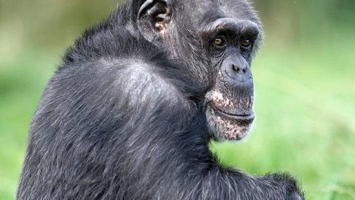 В Шотландии умерла самая старая шимпанзе в Европе
