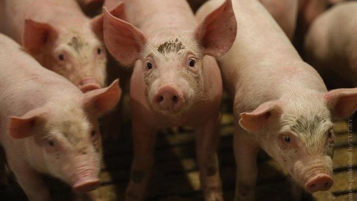 В Украине из-за чумы свиней карантин почти в 30 селах