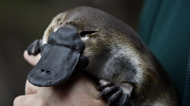 Мужчина превратился в утконоса с мироощущением птицы: фото