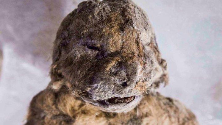 В Якутии найден неразложившийся пещерный львёнок, замёрзший 50 тысяч лет назад