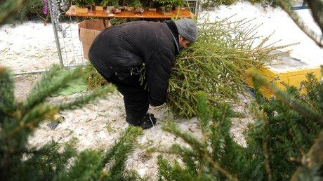 В Омске продавали зараженные насекомыми елки