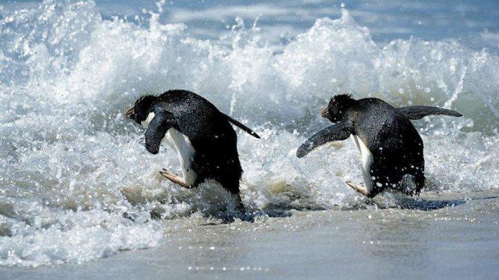 Трогательные кадры: сотни людей выпустили в океан маленьких пингвинов после лечения