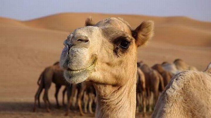 В ОАЭ открылась эксклюзивная клиника для верблюдов