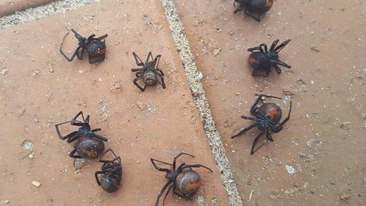 В Австралии выпал дождь из ядовитых пауков