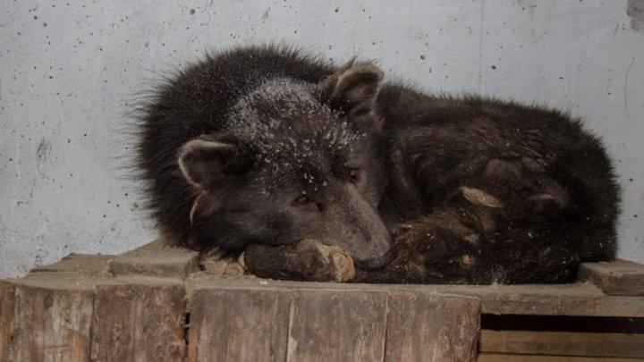 Челябинский медведопес сразил интернет-пользователей