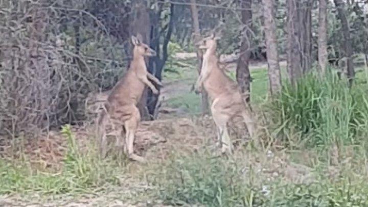 """Мужчина помирил дерущихся кенгуру, пообещав """"пожаловаться их родителям"""""""