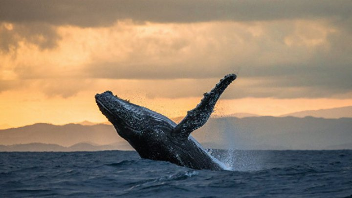 В Тихом океане кит спас женщину от акулы: видео