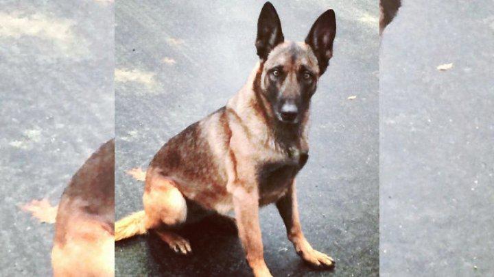 В США преступник укусил полицейскую собаку при задержании