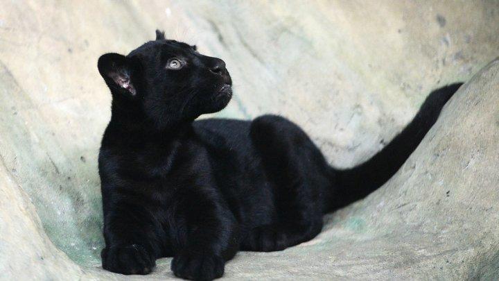 Соседи владельца пантеры-людоедки: Жаль, что это случилось не с хозяином